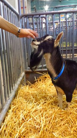 Goat Life Goat Cute♡ Goatee Petting Zoo Goat Being Petted