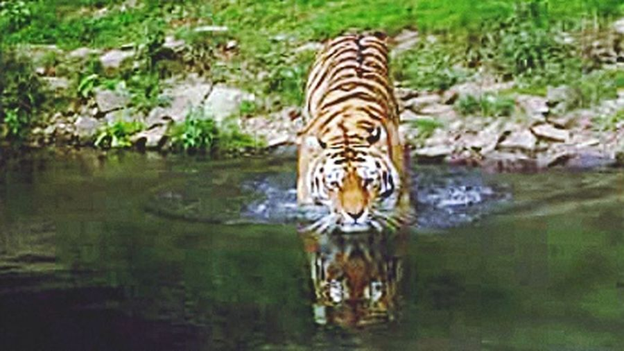 Tiger Whater Reflection Nature Zoo Animals  Bath Time