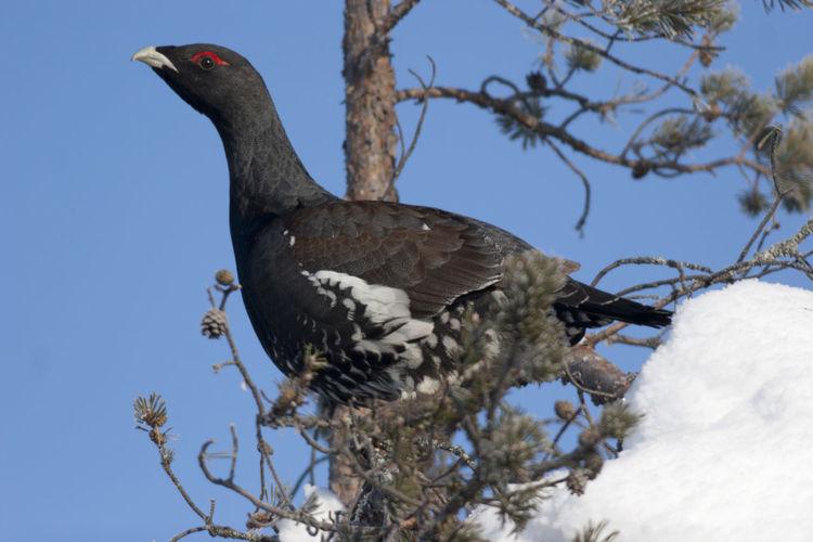 Winter Animal Themes Animal Wildlife Animals In The Wild Bird Branch Cappercaille Nature One Animal Tetrao Urugallo Tree