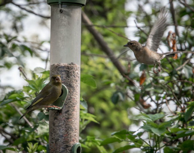 Greenfinch on