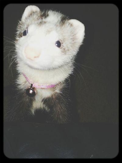 Lola <3 Cute Pet My Ferret Hate On Her