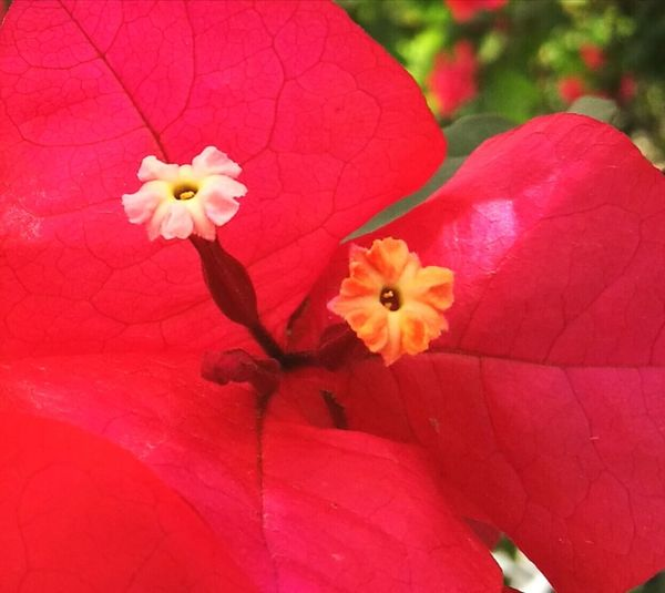 Flower Beauty In Nature No People First Eyeem Photo Red Colors Yellow Orange White Colors Of NaturebougainvilleaGarden Flowers Bougainvillea Flower