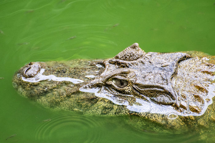 The look of the alligator. Water Reptile Crocodile Animal Vertebrate One Animal Animal Wildlife Animal Body Part Animal Themes Animals In The Wild Lake Nature No People Animal Head  Alligator Swimming Waterfront Day Close-up Animal Eye Amphibian Stealth Swamp EyeEmNewHere EyeEm Selects