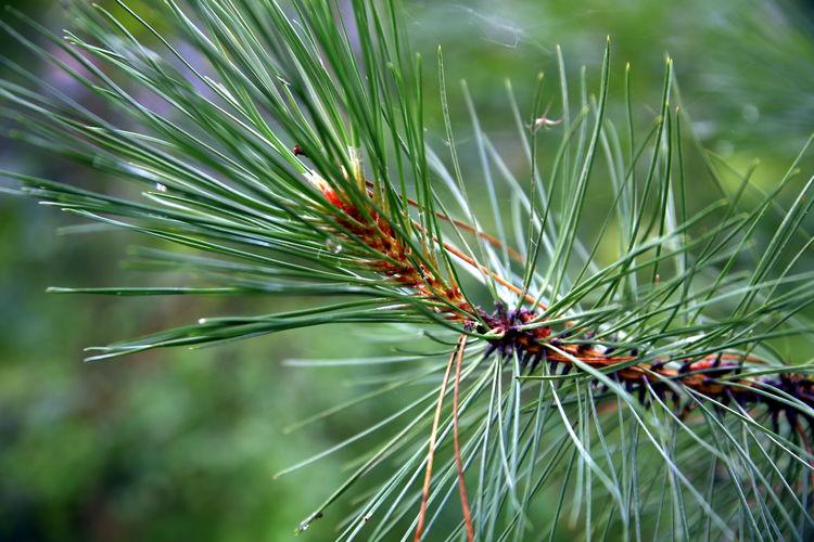 Pinus sylvestris - pine branch and needles