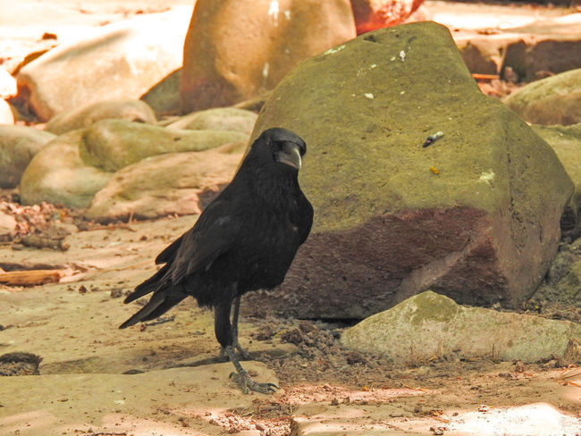 Abraxas Animal Animal Themes Animal Wildlife Animals In The Wild Bird Black Bird Black Color Close-up Crow Day Focus On Foreground Land Nature No People One Animal Outdoors Raven - Bird Rock Rock - Object Solid Sunlight Vertebrate