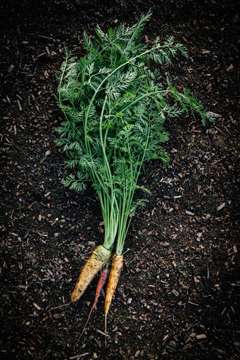 Carrots on dirt Farm Natural Plant Raw Agriculture Black Background Carrot Close-up Dirt Food Food And Drink Fresh Freshness Garden Green Color Growth Healthy Eating Ingredient Nature Nutrition Organic Root Vegetable Taste Vegetable Veggie