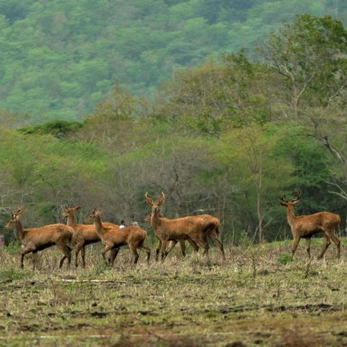 Deer hurd Animal Animal Themes Animals In The Wild Baluran Balurannationalpark Day Deer Deersighting Depth Of Field Field Focus On Background Grass Green Green Color One Animal Outdoors Selective Focus Togetherness Tranquil Scene Two Animals Wildlife Zoology
