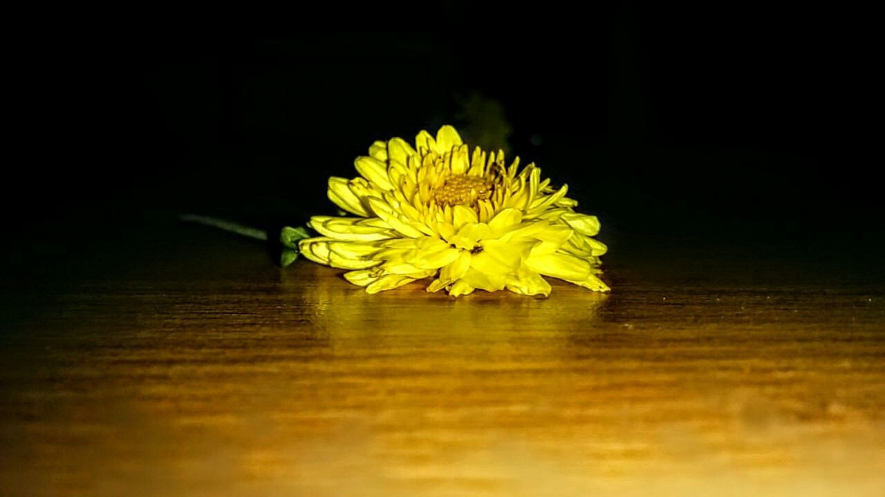 flower, yellow, fragility, petal, flower head, table, selective focus, no people, freshness, single object, close-up, indoors, studio shot, beauty in nature, nature, black background, day
