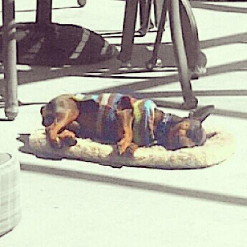 Dogs' life, huh? Dog DogLove ElPuchi Minpin SunnyWinter Sunny Winter