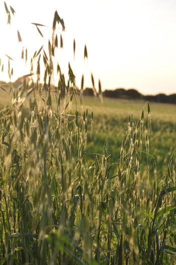 Ears EyeEm Nature Lover Grano Natura Nature Nature Sheaves Of Wheat Sole Spighe Spighe Di Grano Sun Sunset Tramonto Wheat
