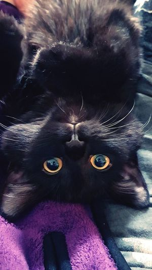 Close-up Headshots Myblackcat Yellow Eyes Cute Pets Looking At Camera Upsidedown Having Fun! Cats Of EyeEm Cat Lovers Black Kitty Cat