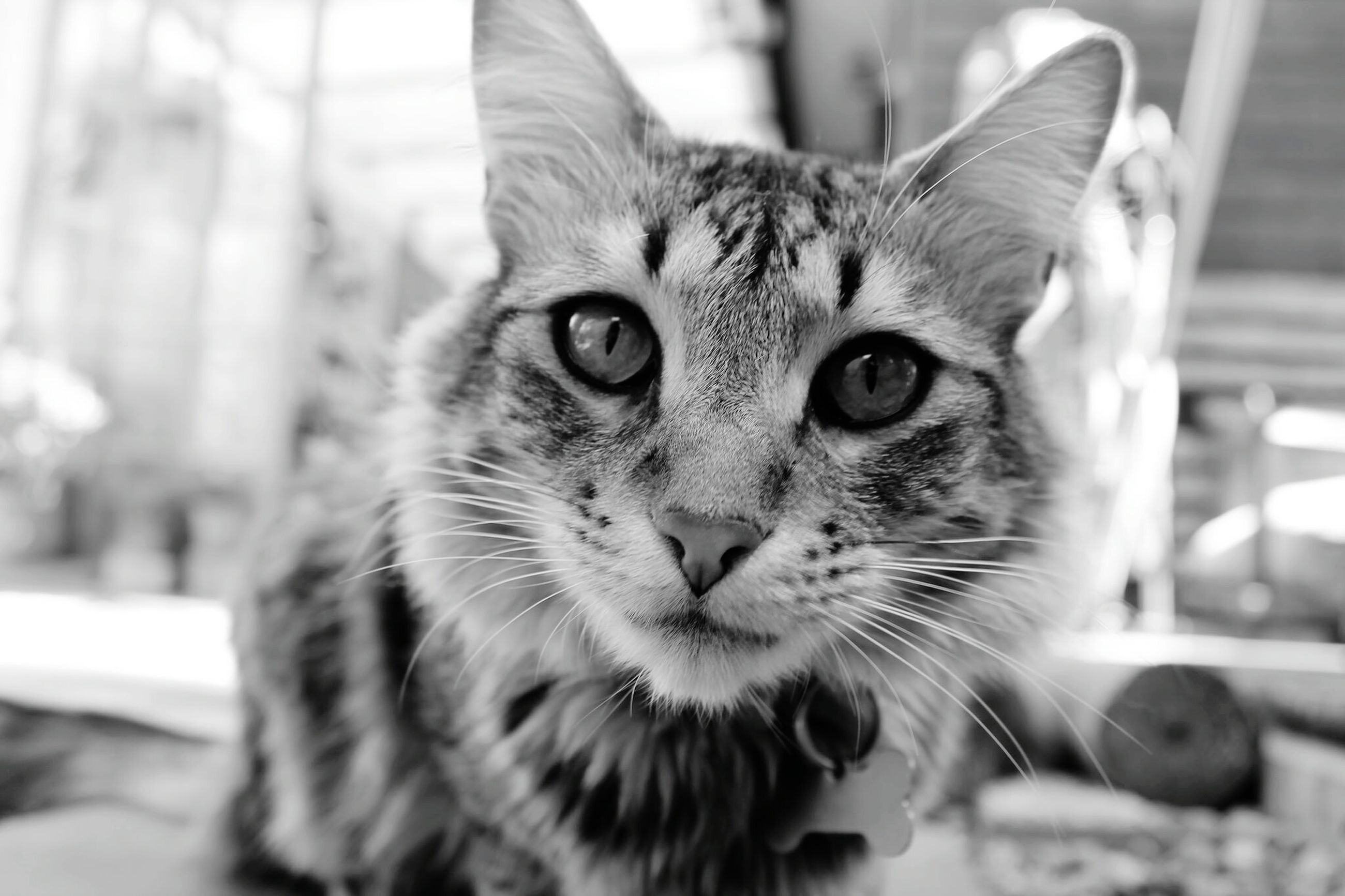 domestic cat, pets, one animal, cat, domestic animals, animal themes, whisker, feline, mammal, focus on foreground, portrait, looking at camera, close-up, indoors, animal head, front view, day, selective focus, sitting