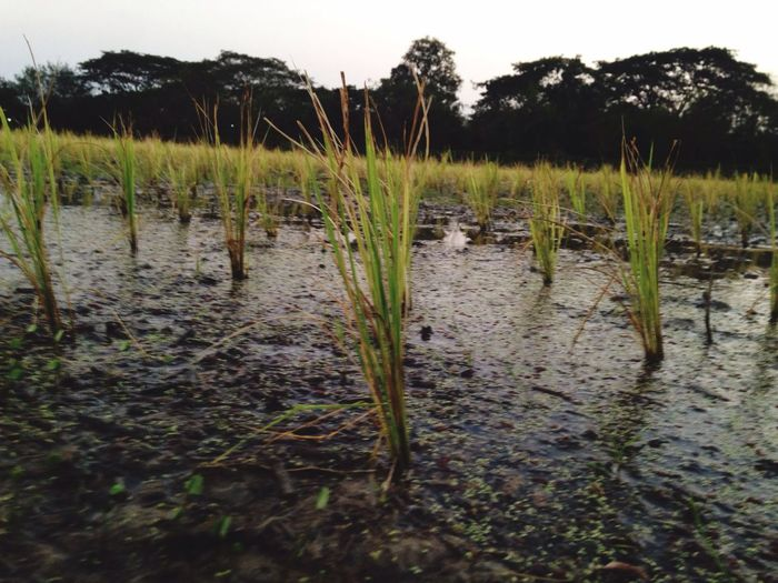 Rice is all we need! Water Nature Growth Plant Tranquil Scene Tranquility Outdoors Grass Wetland No People Scenics Lake Landscape Day Marsh Beauty In Nature Close-up Sky Rice Field