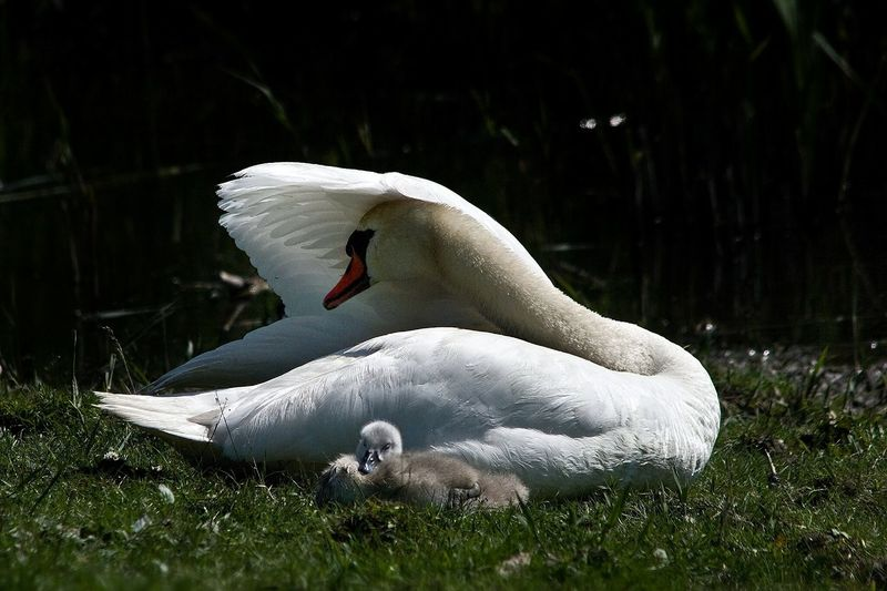 Side view of a swan with little one