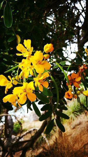 El Canelo Chile♥ Algarrobo Flower Leaf Nature Yellow Outdoors Plant Day