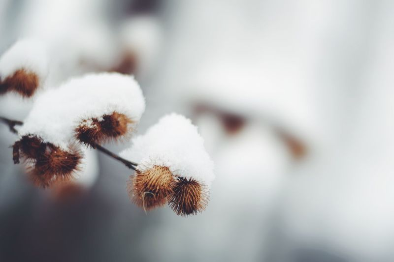 Nature Close-up Growth Focus On Foreground Fragility No People Day Plant Outdoors Beauty In Nature Cotton Plant Freshness Snow Snow ❄ Nature Winter Cold Temperature