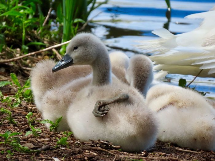 Swan babies up close cygnets just chillin at the water's edge birdwatching birds of EyeEm beauty in nature outdoors animal themes Animal Wildlife Young Bird No People
