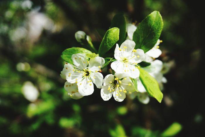 Miarabelle's blossom