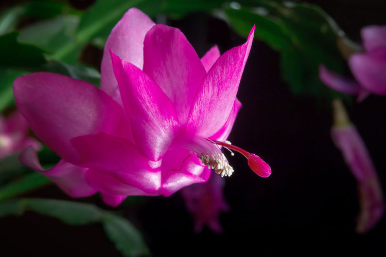 Flower of succulent plant Schlumberger isolated on black background. Christmas cactus. Flowering Plant Flower Plant Vulnerability  Beauty In Nature Fragility Freshness Petal Close-up Growth Pink Color Flower Head Inflorescence Nature No People Focus On Foreground Pollen Selective Focus Day Outdoors Purple Springtime Crocus Christmas Cactus Schlumberger