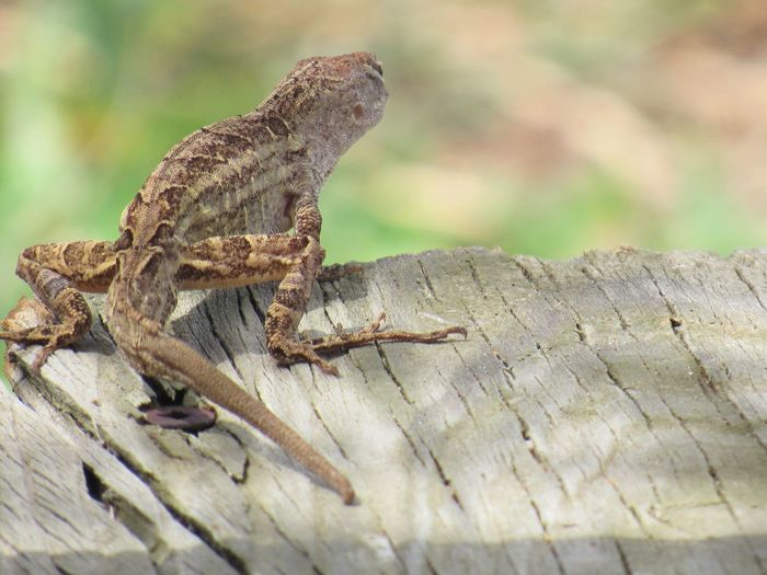 Lizard Animal Themes Animals In The Wild Close-up Crawling Focus On Foreground Gecko Invertebrate Lizard Nature One Animal Outdoors Reptile Reptile Side View Wildlife Zoology Anole Lizard
