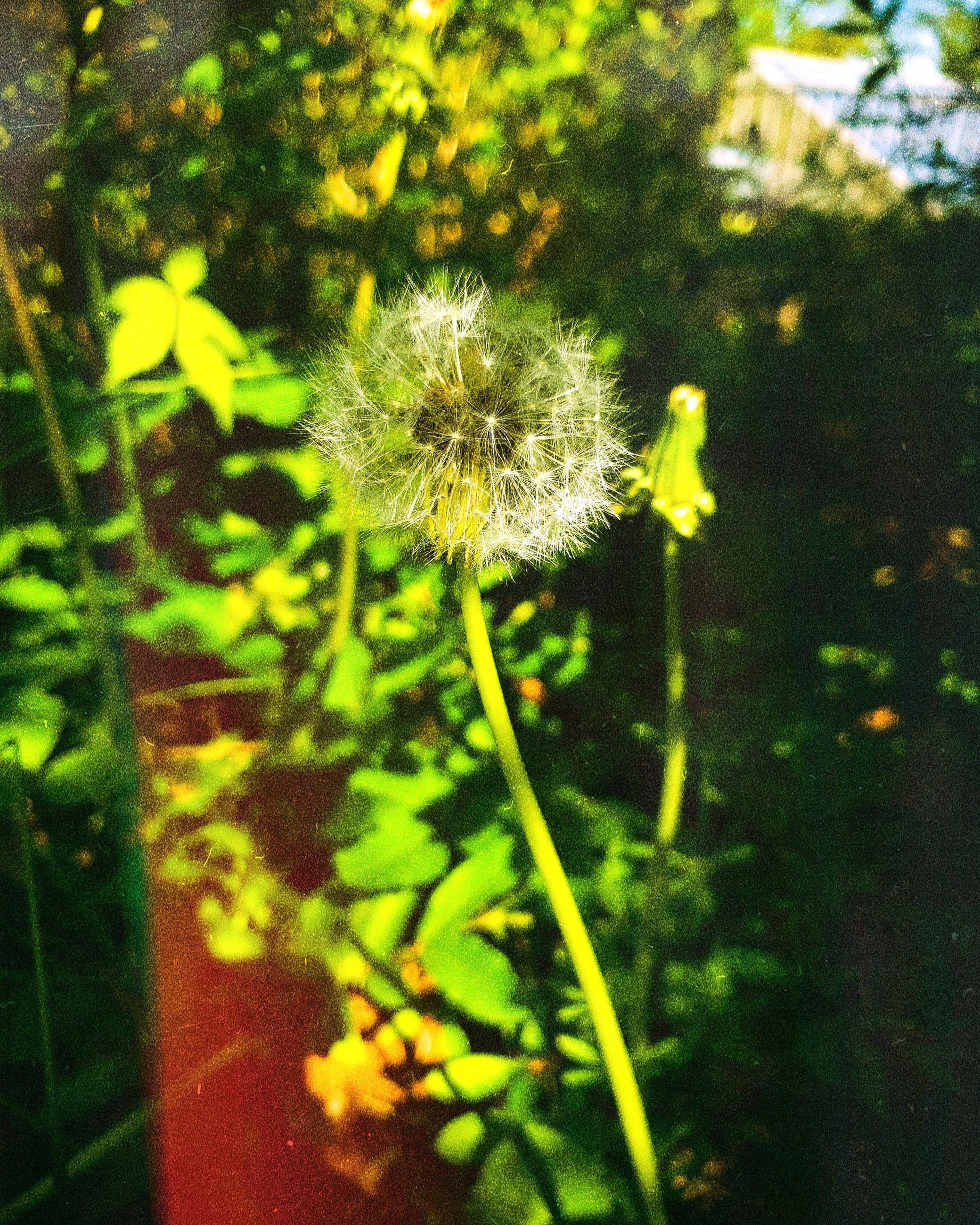 flower, plant, flowering plant, growth, freshness, dandelion, fragility, vulnerability, nature, close-up, beauty in nature, focus on foreground, inflorescence, no people, day, plant stem, flower head, outdoors, softness, selective focus, dandelion seed, spring