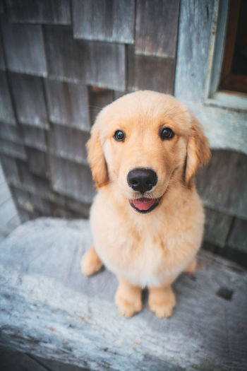Golden Retriever Pets Dog Domestic Canine One Animal Domestic Animals Animal Themes Mammal Animal Portrait Looking At Camera Vertebrate Puppy Young Animal No People Day Brown Wood - Material Sitting High Angle View Animal Head  Snout Looking At Camera Sitting Cute Close-up