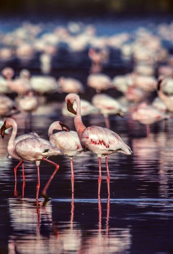 Nakuru Animal Animal Themes Animal Wildlife Animals In The Wild Beauty In Nature Bird Day Drinking Flamingo Flock Of Birds Focus On Foreground Freshwater Bird Group Of Animals Lake Large Group Of Animals Nature No People Outdoors Reflection Vertebrate Wading Water