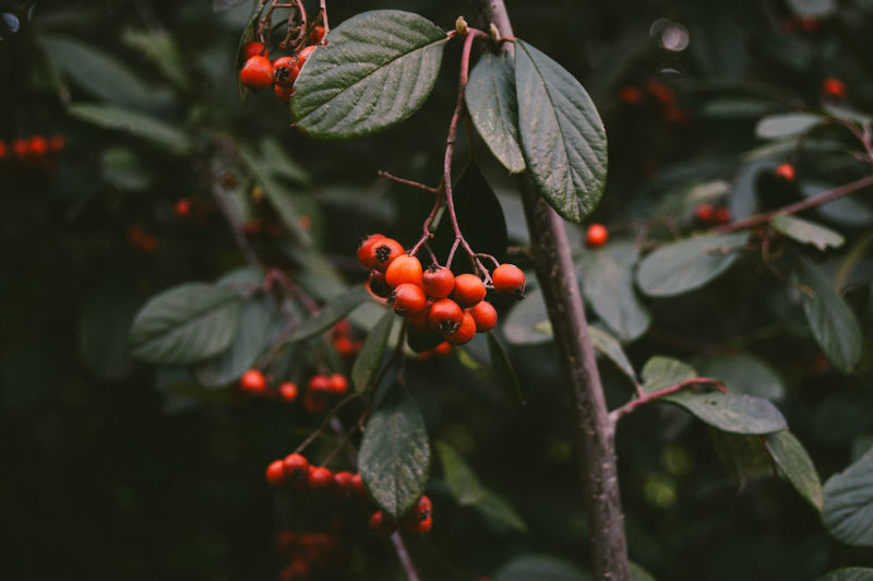 Redish Two Fruit Growth Food Leaf Plant Part Healthy Eating Plant Red Berry Fruit Focus On Foreground Close-up Freshness Tree Nature Beauty In Nature Day No People Green Color Outdoors Relaxing EyeEm Nature Lover