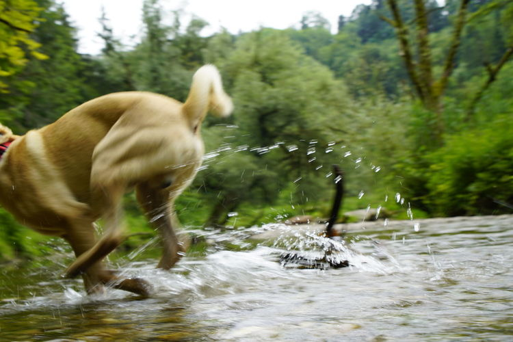 View of dog in river