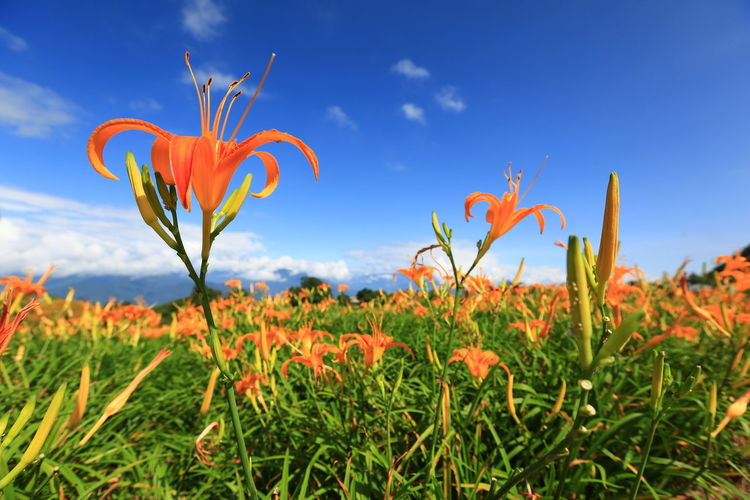Beauty In Nature Blue Close-up Day Flower Flower Head Growth Landscape Nature No People Outdoors Scenics Sky 六十石山 藍天白雲 金針花 金黃 黃色