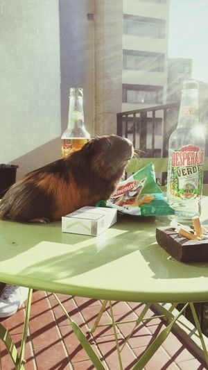 Chilling Beer Desperados Cavy Sunny Afternoon Relaxing