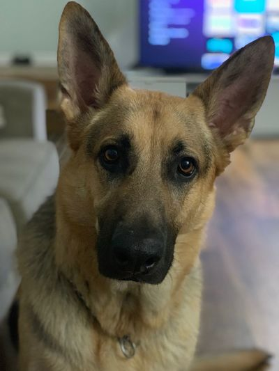 Thank you for being in my life Best Thing Ever Gratitude For The Good Things! Powerful Feelings Dog Mammal Canine Domestic Animals Pets 50 Ways Of Seeing: Gratitude German Shepherd Animal Eye