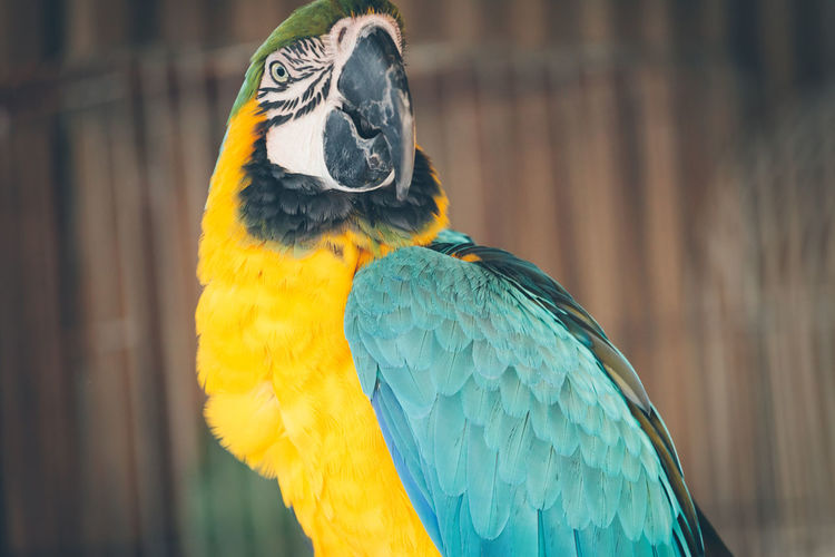Animal Body Part Animal Head  Animal Themes Animals In The Wild Beak Bird Blue Close-up Day Focus On Foreground Front View Macaw Multi Colored Nature One Animal Outdoors Parrot Portrait Wildlife Yellow
