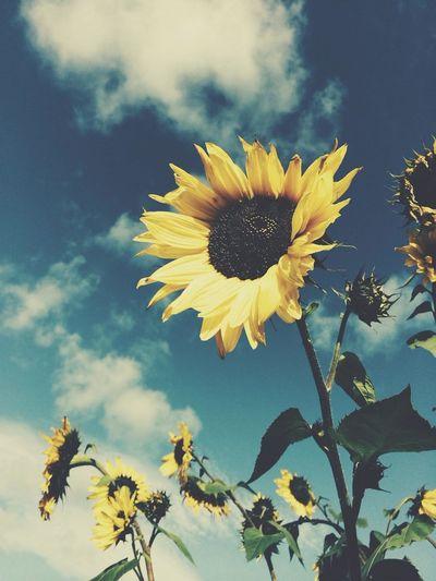 sunflow. Sunflower Sunflow Autumn Yellow