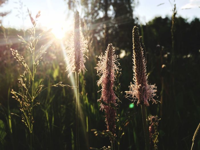 Nature is the best remedy for anything Amaturephotography Plant Growth Nature Sunlight Beauty In Nature Tranquility Day Sky No People Focus On Foreground Lens Flare Outdoors Land Sunbeam Field Green Color Sunset Sun Close-up The Still Life Photographer - 2018 EyeEm Awards The Great Outdoors - 2018 EyeEm Awards