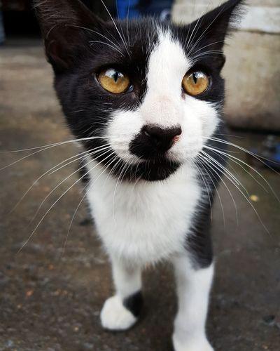One Animal Domestic Animals Portrait Looking At Camera Animal Themes Domestic Cat Feline