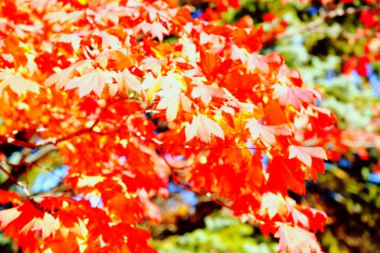 Autumn Change Leaf Red Tree Nature Maple Tree Maple Leaf Beauty In Nature Close-up No People Outdoors Maple Autumn🍁🍁🍁 Camera Life Is My Life! 紅葉2016 Fragility Day Close Up D7200 Nikon