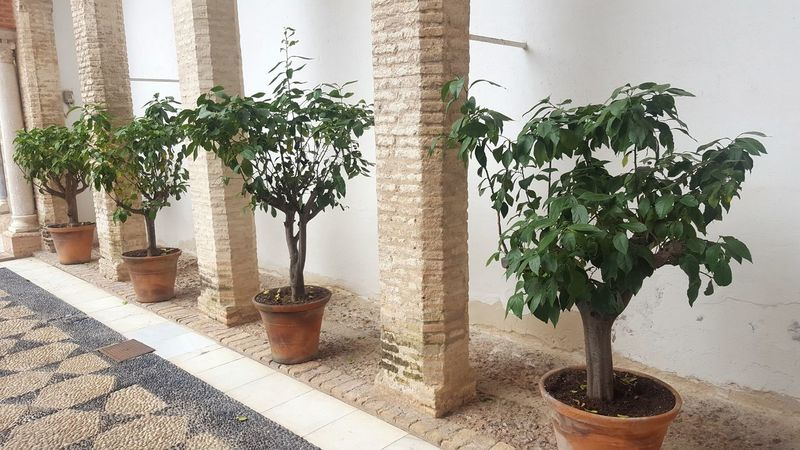 Tree Plant Potted Plant Bonsai Tree Day Indoors  Nature Greenhouse Architecture Beauty In Nature Gardens Andalucía Alcazar City Life Travel Destinations Sevilla Seville SPAIN EyeEm Best Shots Travel Photography Travel Traveling