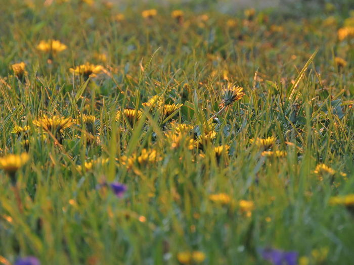 Dandelions Bloom Sunlit Glow Flower Plant Flowering Plant Growth Field Selective Focus Beauty In Nature Land Fragility Vulnerability  Yellow Nature Freshness No People Grass Green Color Day Outdoors Close-up Tranquility Flower Head