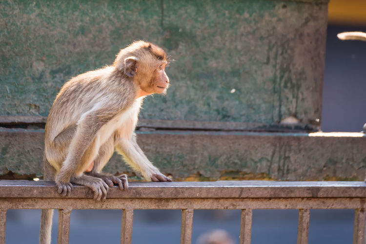 The life of long tail funny monkeys with archaeological sites. Lopburi Thailand Mammal One Animal Railing Primate Side View People Looking Animal Wildlife Day Outdoors Animals In The Wild Sitting Looking Away Architecture Vertebrate Full Length Nature Profile View