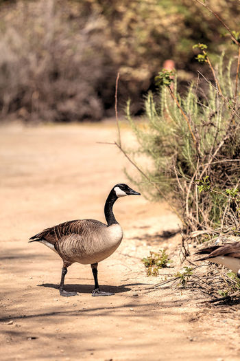Canadian goose, Branta canadensis maxima, at the edge of a pond in spring Animal Themes Animal Wildlife Animals In The Wild Bird Birds Branta Canadensis Branta Canadensis Maxima Canadian Geese Day Goose Nature No People Outdoors Wildbird