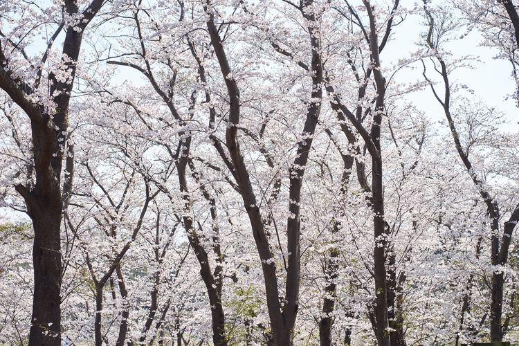 Nature Nature_collection Sakura Tree Plant Full Frame No People Low Angle View Day Branch Nature Backgrounds Tranquility Sky Bare Tree White Color Pattern Growth Beauty In Nature Outdoors Trunk Tree Trunk Forest