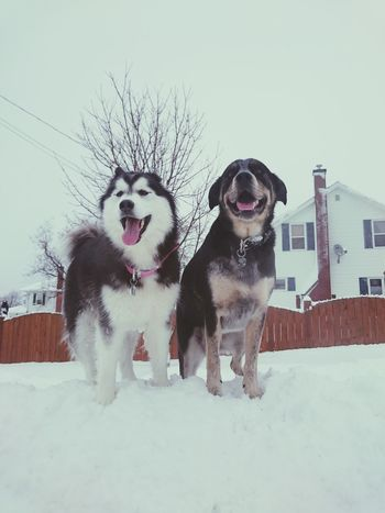 Snow Winter No People Dog Pets Outdoors Nature Traveling Home For The Holidays Siberian Husky Snow Sports