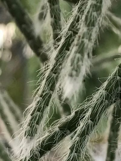 Growth Nature No People Cactus Rhipsalis Close-up In The Greenhouse Tranquility Hill Farm Clifton Springs Ny Growth Fragility