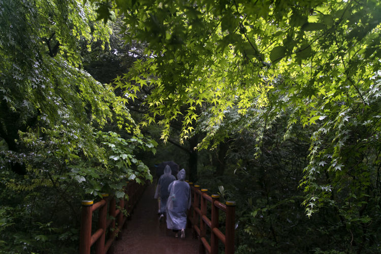 rainy day of Bijarim which is a famous forest in Jeju Island, South Korea Beauty In Nature Bijarim Day Forest Growth JEJU ISLAND  Maple Nature Outdoors Pathway Pathways Rainy Real People Rear View Tree Two People Walking