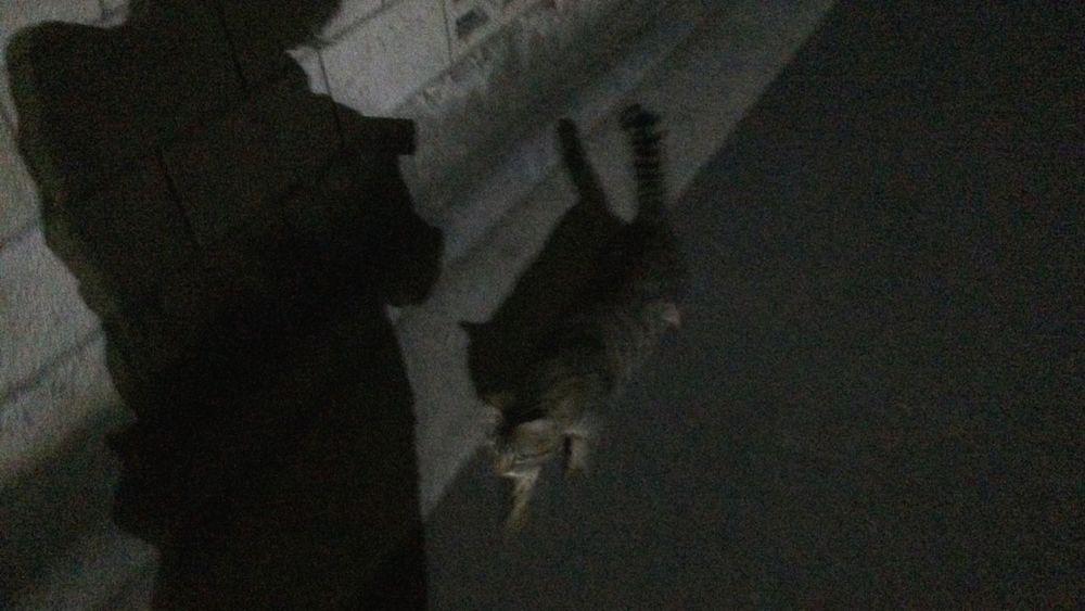 夜ねこ Stray Cat 野良猫 Cat キジトラ ねこ影