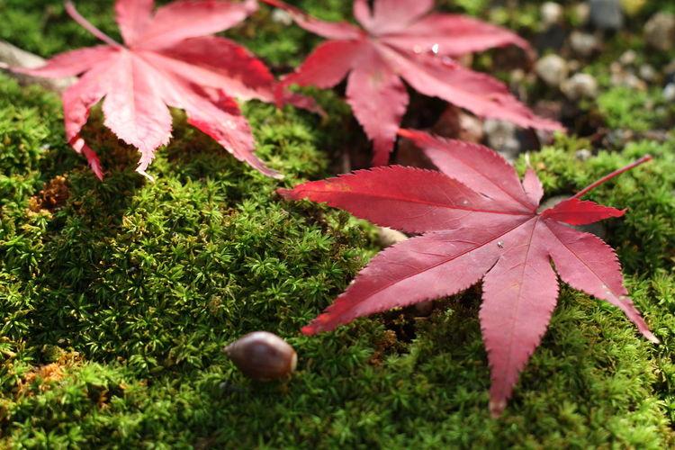 Japan Kobe 兵庫 神戸 秋 紅葉 苔縄 どんぐり Autumn Leaves Autumn🍁🍁🍁 Moss