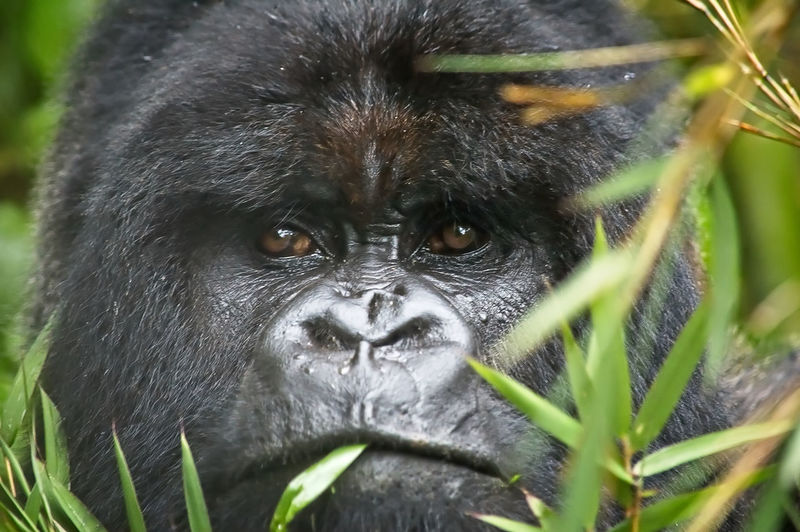 A close-up of a alpha male silverback mountain gorilla in the wild eating bamboo and leaves Endangered Species EyeEmNewHere Mountain Gorilla The Traveler - 2018 EyeEm Awards Alpha Male Animal Wildlife Animals In The Wild Close-up Eating Bamboo Gorilla Kingkong  Mammal Nature No People One Animal Primate Silverback Gorilla Vertebrate