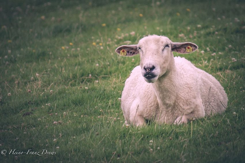 Grass Field Domestic Animals Mammal Animal Themes Livestock No People Nature Day Green Color Sheep Outdoors Growth One Animal Portrait Lamb Beauty In Nature