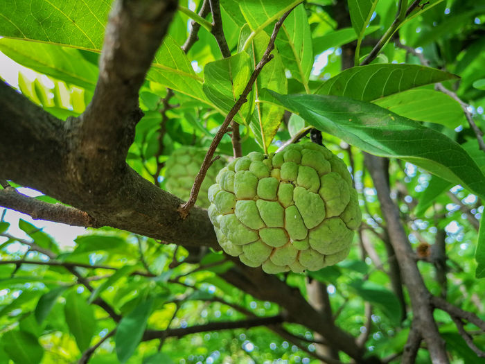 Green Color Leaf Nature Growth Tree Day No People Branch Beauty In Nature Close-up Outdoors Low Angle View Freshness Food Backgrounds Healthy Eating Fruit Wallpapers ผลไม้ไทย Food And Drink Custard Apple Nature Tree กลิ่นอันหอมหวาน